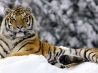 tiger in winter wallpapers