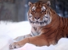 tiger snow wide wallpapers