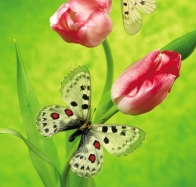 tulips amp butterfly