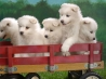wagonload of samoyed puppies wallpapers