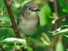 white eyed vireo hd wallpapers