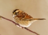 white throated sparrow hd wallpapers