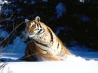 wintery scuddle siberian tiger wallpapers